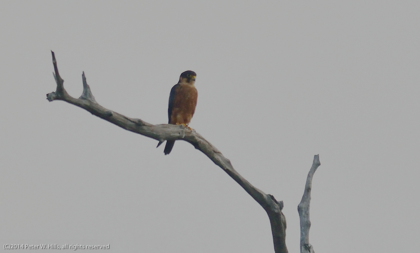 Hobby African (Falco cuvierii) juvenile – Gambia