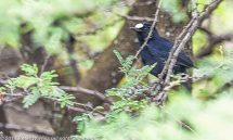 Chat White-Fronted Black (Pentholaea albifrons) – Ethiopia