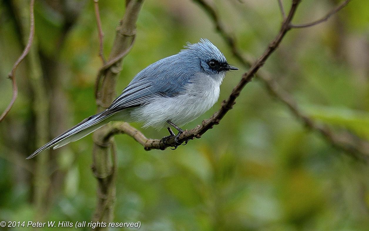 Flycatcher White-Tailed Blue (Elminia albicauda) – Rwanda