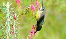 Sunbird Collared (Hedydipna collaris) male – Rwanda