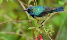 Sunbird Variable (Cinnyris venustus) male – Rwanda