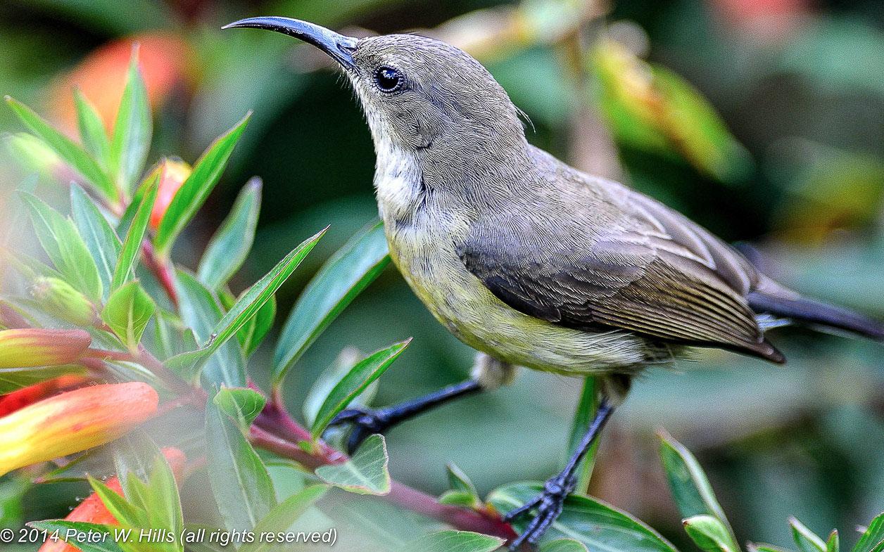 Sunbird Northern Doubled-Collared (Cinnyris reichenowi) female – Rwanda