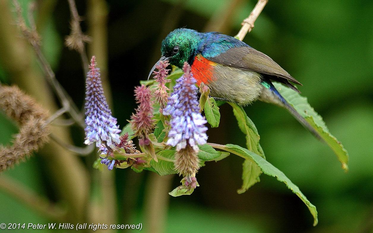 Sunbird Rwenzori Double-Collared (Cinnyris stuhlmanni) male – Rwanda