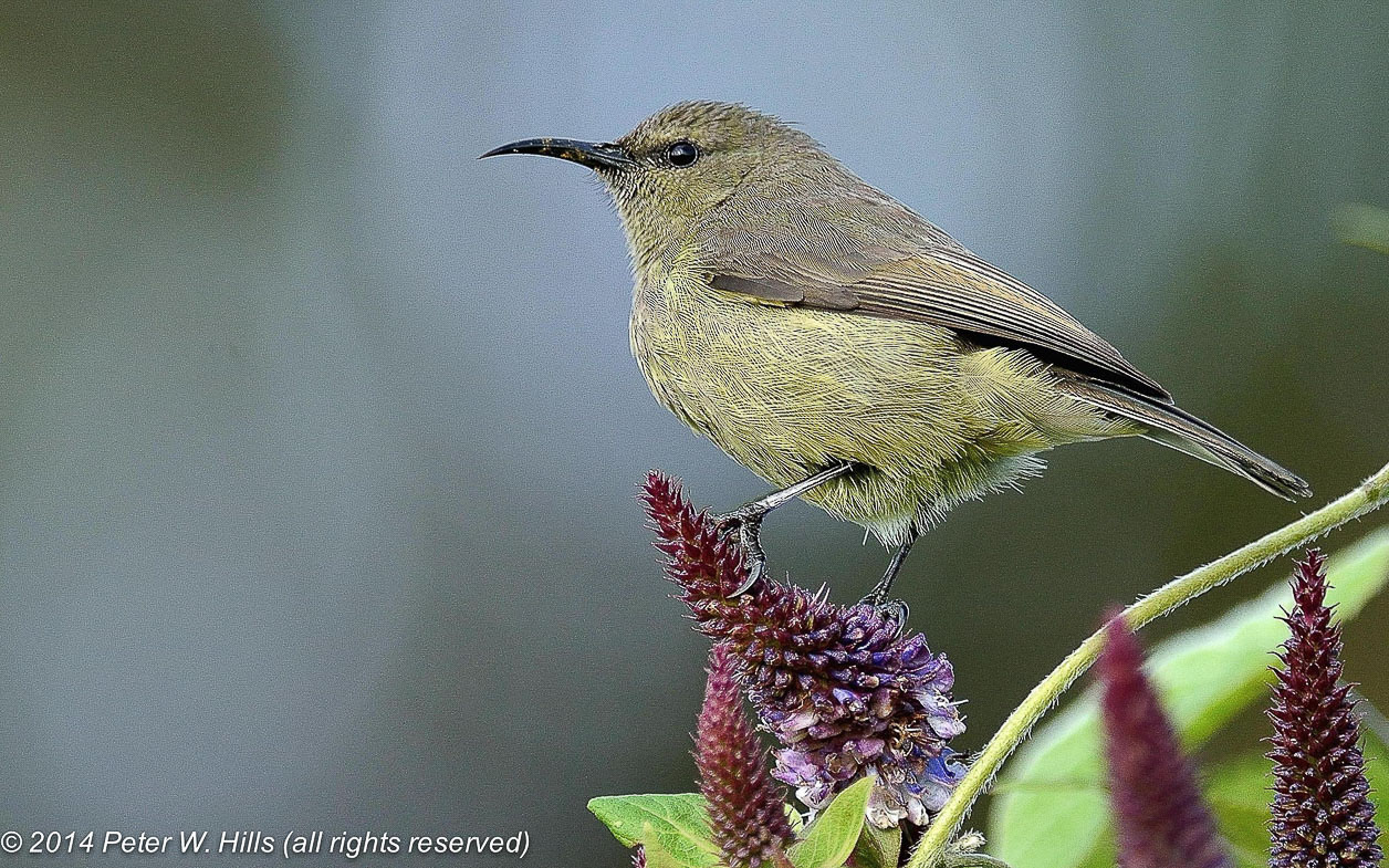 Sunbird Rwenzori Double-Collared (Cinnyris stuhlmanni) female – Rwanda