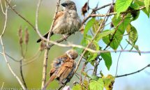 Sparrow Northern Grey-Headed (Passer griseus) male – Rwanda