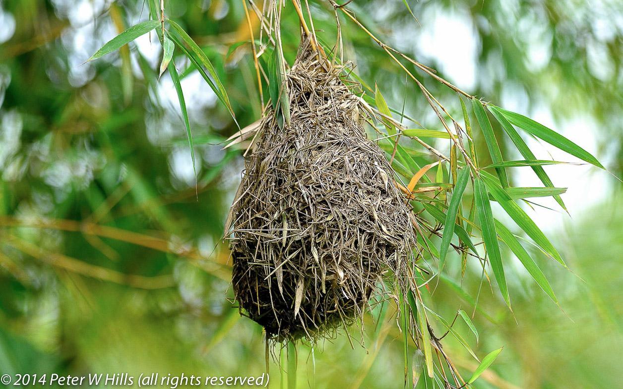 Weaver Baglafecht (Ploceus baglafecht) nest – Rwanda