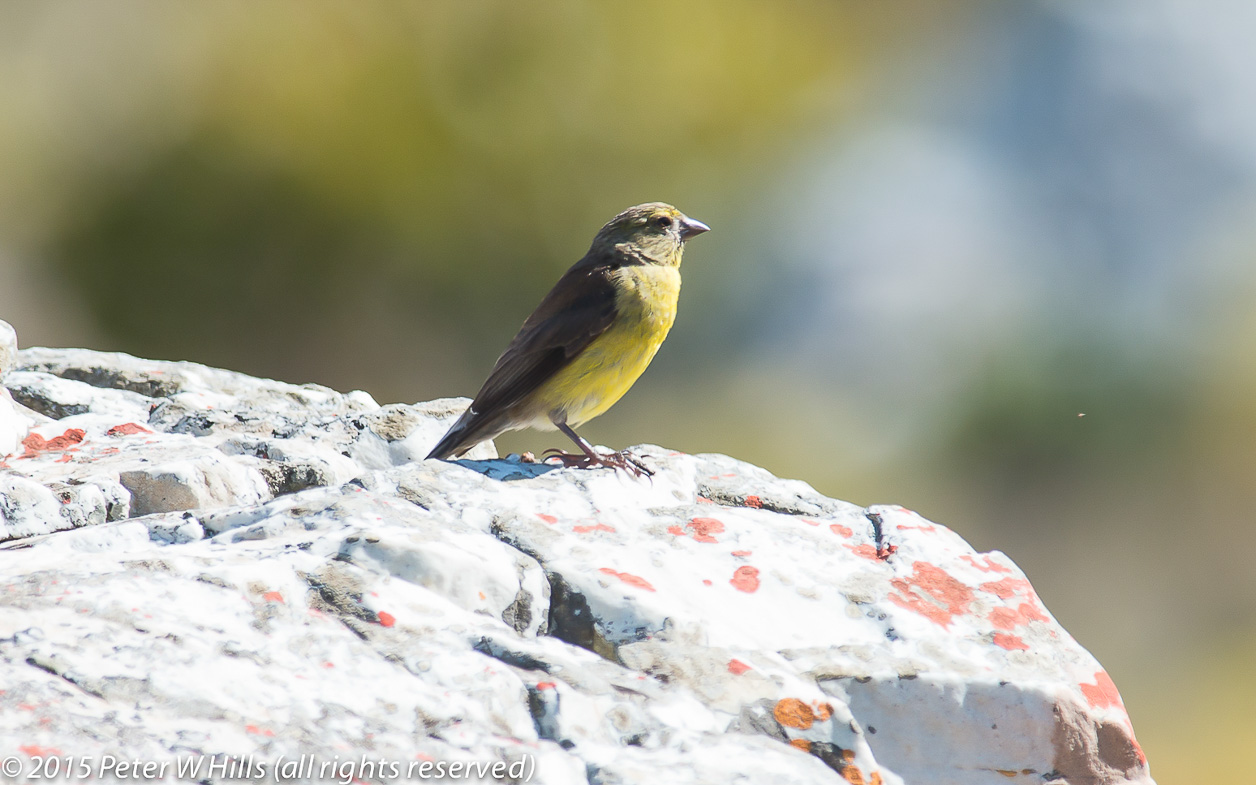 Siskin Cape (Crithagra totta) male endemic – Cape West South Africa