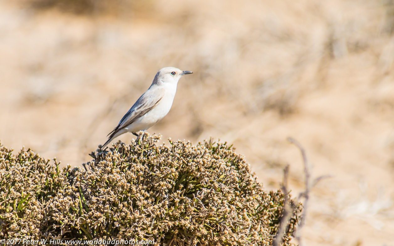 Chat Tractrac (Emarginata tractrac) pale race – endemic – Namibia