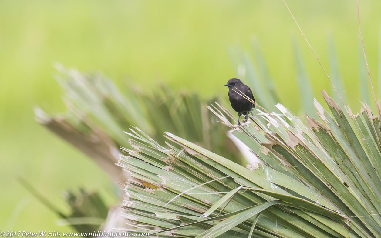 Chat Sooty (Myrmecocichla nigra) male – Uganda