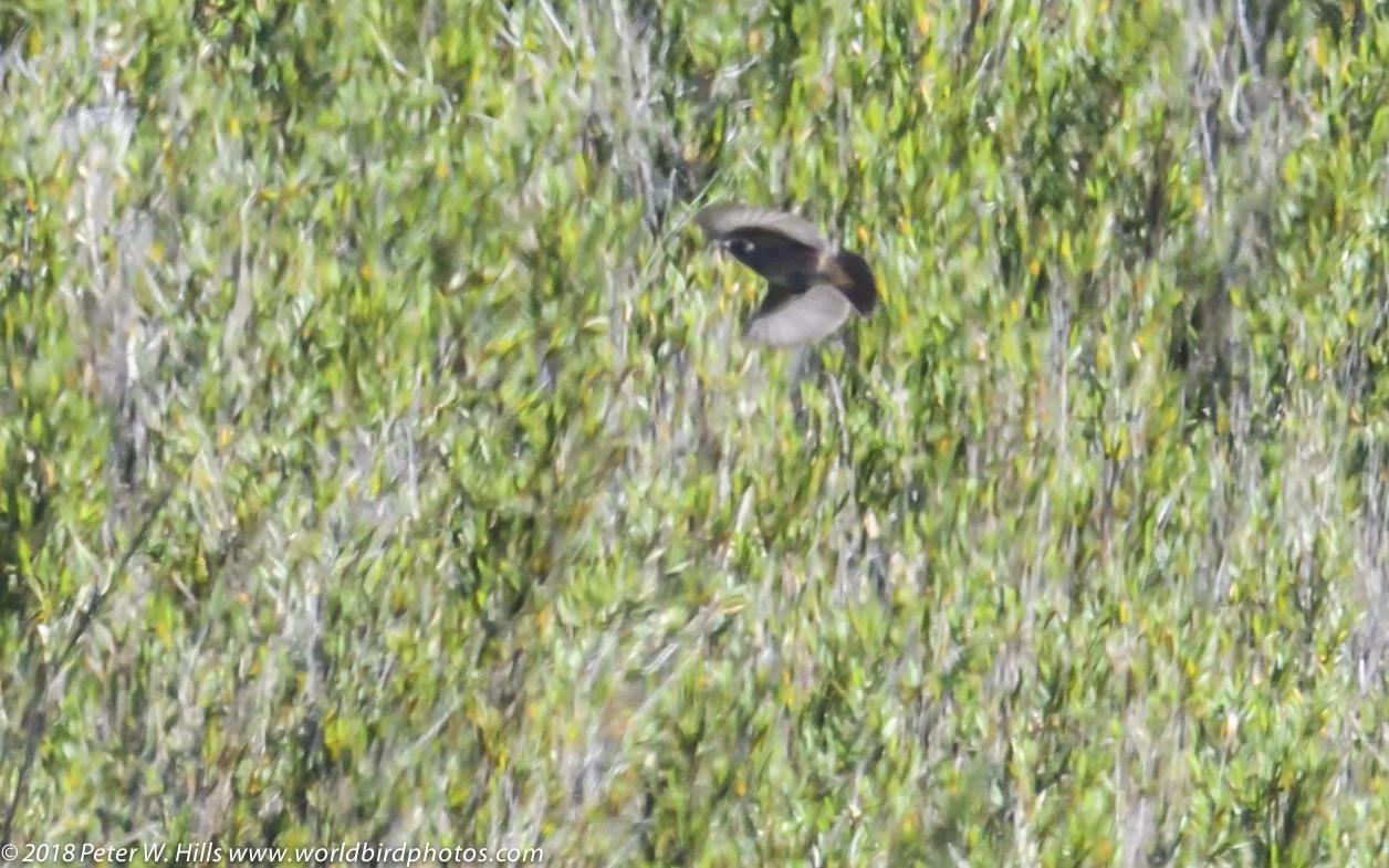 Chat Pied Bush (Saxicola caprata) male in flight – Sri Lanka